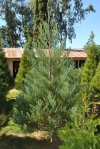 Giant Sequoia Christmas Tree