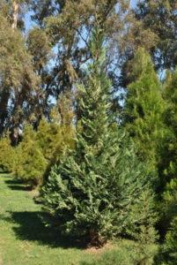 Leyland Cyprus Christmas Tree