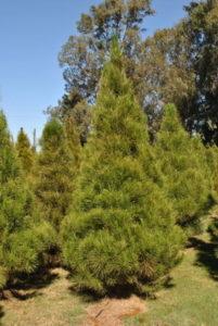 Monterey Pine Christmas Tree